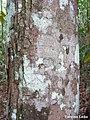 Maprounea guianensis, pinga-orvalho - Flickr - Tarciso Leão (5).jpg