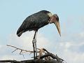 Marabou Stork RWD3.jpg