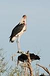 Marabou Storks 2348844265