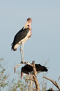 Marabou Storks 2348844265.jpg