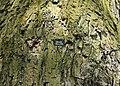 Marke. Naturdenkmal Lindenallee in Lößnitz Erzgebirge 2H1A2983WI.jpg