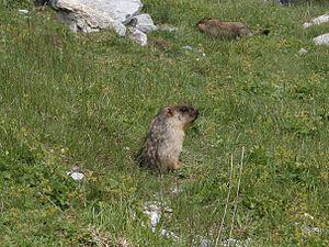 Black-capped marmot - Image: Marmota camtschatica 01