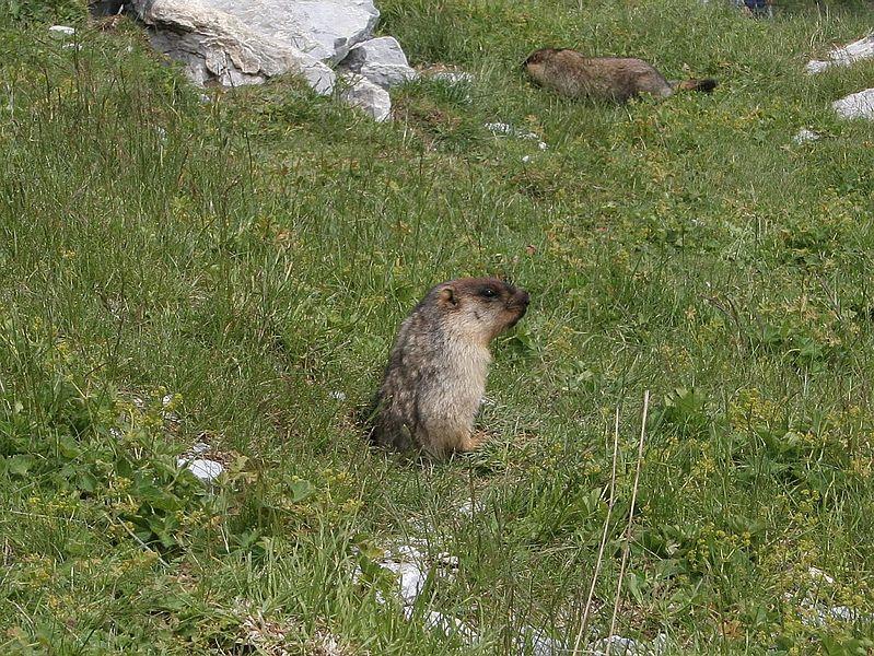 File:Marmota camtschatica01.jpg