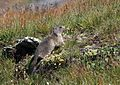 Marmota marmota (Sciuridae) (Alpine Marmot) - (adult), Graubünden, Switzerland.jpg