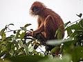 Maroon (or Red) Leaf Monkey (14180972321).jpg