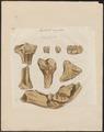 Mastodon angustidens - skeletdelen en kiezen - 1700-1880 - Print - Iconographia Zoologica - Special Collections University of Amsterdam - UBA01 IZ22000167.tif