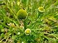 Matricaria discoidea flower (06).jpg