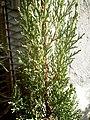Mediterranean Cypress (Cupressus sempervirens) at Akola, Maharashtra, India.jpg