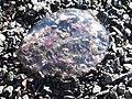 Medusa en la playa II.jpg