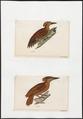 Meiglyptes phaioceps - 1700-1880 - Print - Iconographia Zoologica - Special Collections University of Amsterdam - UBA01 IZ18700243.tif