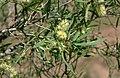 Melaleuca stenostachya.jpg