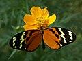 Melinaea scylax (top).jpg