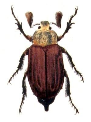 Melolontha - M. hippocastani