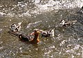 Merganetta armata (Pato de torrente) - Familia (14253330584).jpg