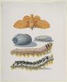 Metamorphosis of the Lappet (SM 1495z).png