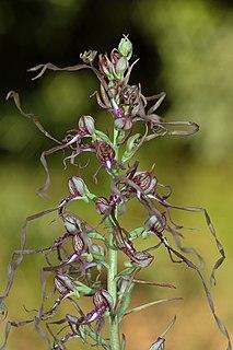 <i>Himantoglossum</i> genus of plants
