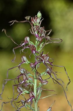 definition of himantoglossum