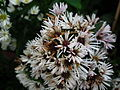 Michaelmas daisy or Aster amellus from Lalbagh Flowershow - August 2012 4721.JPG