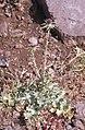 Milk thistle. Silybum marianum. Andalusia (37086508013).jpg