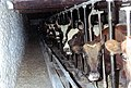 Milking time at Brook Farm - geograph.org.uk - 906263.jpg