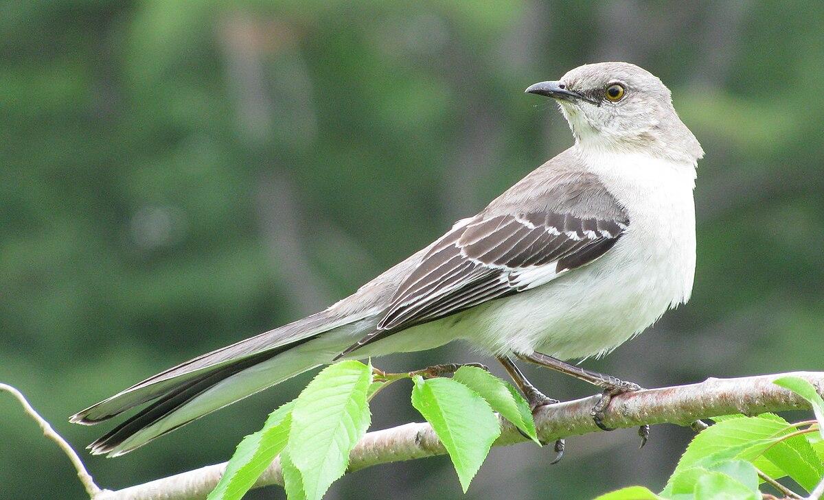 List of birds of Arkansas - Wikipedia