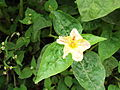 Mirabilis jalapa-2-yercaud-salem-India.JPG