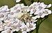 Misumena vatia on Achillea millefolium qtl3.jpg