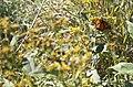 Monarch (7414410722).jpg
