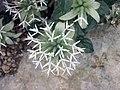 Monardella nana -倫敦植物園 Kew Gardens, London- (9227005997).jpg