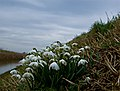 Monk Dike snowdrops, near Long Riston - geograph.org.uk - 1169599.jpg