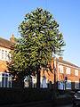 Monkey puzzle tree, Charlwood Avenue, Huyton.JPG
