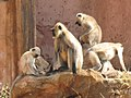 Monkeys in India.jpg