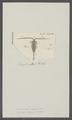 Monoculus rubens - - Print - Iconographia Zoologica - Special Collections University of Amsterdam - UBAINV0274 100 01 0028.tif