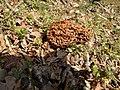 Morchella vulgaris 121593036.jpg