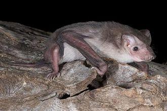 Mormopterus - Mormopterus beccarii