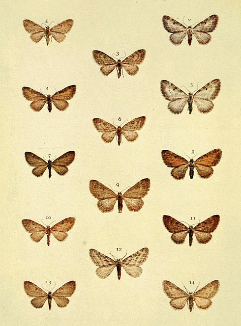 Moths of the British Isles Series2 Plate097.jpg