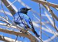 Mountain Bluebird on Seedskadee National Wildlife Refuge (26230832311).jpg