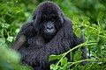 Mountain gorilla from Susa Group in Karisimbi thicket of Volcanoes National Park in Rwanda. Emmanuel Kwizera.jpg