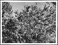 Mountain lilac plant (Ceanothus Divaricatus), ca.1920 (CHS-1727).jpg