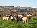 Moutons lannamarrou.jpg