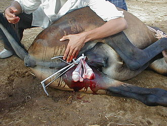 Gelding - Recumbent castration, including use of emasculators