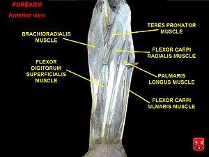Flexor digitorum superficialis muscle - Image: Muscles of forearm
