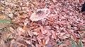 Mushroom near Garanohur Lake.jpg