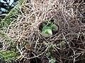 Myiopsitta monachus -Santiago, Chile -nest-8.jpg
