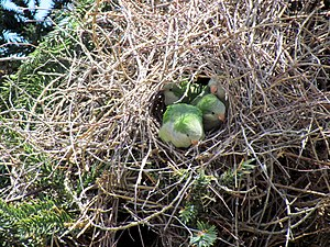 Monk parakeet - Birds and their nest in Santiago, Chile