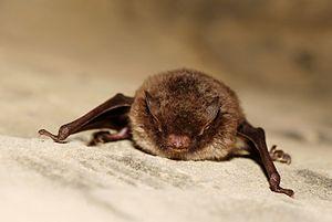 Myotis daubentoni - bat - chiroptera