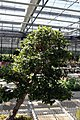 Myrciaria cauliflora 23zz.jpg