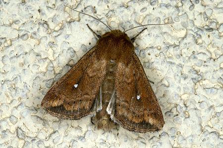 Mythimna albipuncta, Lodz(Poland)02(js).jpg