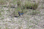 NASA Kennedy Wildlife - Florida Scrub Jay (11).jpg