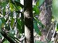 Naaramaamidi (Telugu- నారమామిడి) (3089730586).jpg